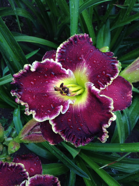 Пурпурный Бархат